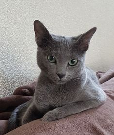 If you are looking for a truly unique and beautiful kitten you don't have to look much further than the Russian Blue breed. Delightful Discover The Russian Blue Cats Ideas. Russian Cat, Russian Blue Kitten, Grey Kitten, Grey Cats, Kittens Cutest, Cats And Kittens, Burma, Beautiful Cats, Cat Breeds