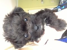 Plan to get a yorkie poo in the future too