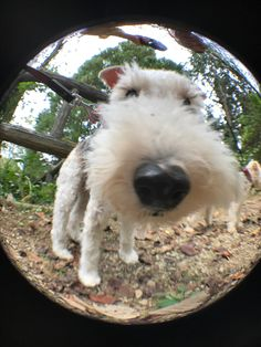 Wire thro' a lens. Why the long face? Fox Terriers, Wirehaired Fox Terrier, Wire Fox Terrier, Airedale Terrier, Cute Puppies, Cute Dogs, Wire Haired Terrier, Spatzle, Lakeland Terrier