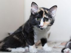 CALI - ID#A465161 - URGENT - Harris County Animal Shelter in Houston, Texas - ADOPT OR FOSTER - 5 MONTH OLD Spayed Female Calico Domestic Longhair - at the shelter since Aug 02, 2016.