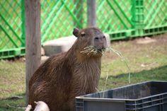 カピバラ Capybara | by CapybaraJP