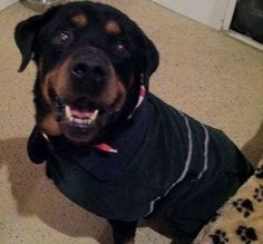 Senior Dog Haven and Hospice - Wilmington, DE - Adoptable dog - Rottweiler