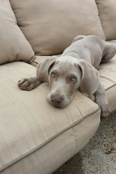 Canis Lupus, Weimaraner Puppies, Cute Dogs And Puppies, Doggies, Cat Dog, Cute Little Animals, Mundo Animal, Cute Creatures, Beautiful Dogs