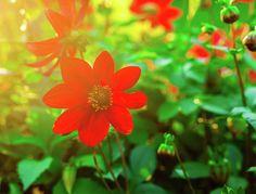 Red Flower Suni. Anna Matveeva Photograph  #AnnaMatveeva #FineArtPhotography #ArtForHome #FineArtPrints