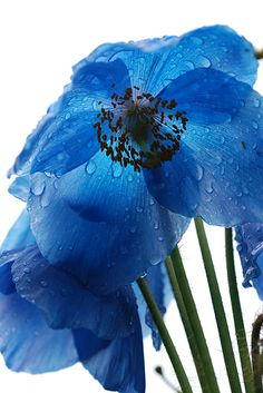 Tibetan Blue Poppy. Beautiful but hard to grow :(