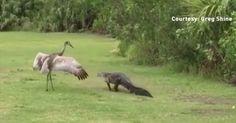 This Florida sandhill crane is not a gator fan.