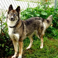 Gerberian Shepsky ( German Shepherd Siberian Husky Mix) I really really want want one of these dogs! White Siberian Husky, Siberian Huskies, Schaefer, Yorkshire Terrier Puppies, German Shepherd Puppies, German Shepard Husky Mix, Shepherd Mix Dog, Husky Shepard Mix Puppies, Husky Puppy