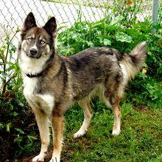 A Gerberian Shepsky a mix of my two favorite breeds (German Shepherd-Husky) http://ift.tt/2hFkwrC