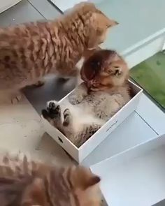 Funny cute cats kittens fit 65 new Ideas Funny Cute Cats, Cute Cats And Kittens, Cute Funny Animals, Cute Baby Animals, Kittens Cutest, Funny Dogs, Animals And Pets, Funny Kittens, Kitty Cats