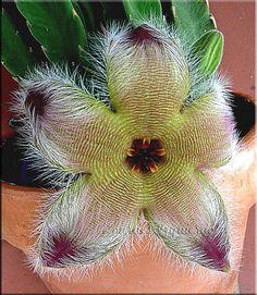 Echinopsis subdenudata Hace 8 años comencé a coleccionar cactus y suculentas. Fué a raíz de entrar en un foro de jardinería. Poco a po...