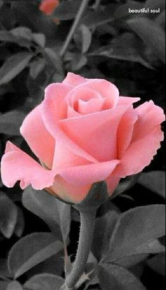 Amazing Flowers, Beautiful Roses, My Flower, Beautiful Gardens, Beautiful Flowers, Rose Reference, Single Rose, Romantic Roses, Gras