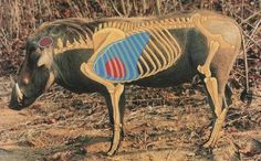 Image Africa Hunting, Shooting Targets, Animal Anatomy, Call Of The Wild, Hunting Tips, Wild Boar, Archery, Moose Art, Shots