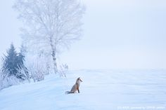 Ezo red fox: Biei, Hokkaido It only lives in Hokkaido, not anywhere else in Japan. The fox stands along in a snow-white landscape. I wonder what it's watching. Snow In Japan, Red Fox, Holiday Travel, Hot Springs, Perfect Place, Cherry Blossom, Snow White, Creatures, Japanese
