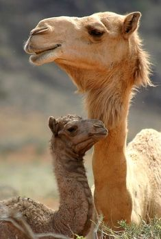 never thought I would pin a picture of camels....but how cute!!!!