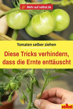 Tomaten selber ziehen Everyone can use these tips plant in the garden or on the balcony and harvest. You can also grow aromatic tomatoes yourself! Growing Grapes, Growing Tomatoes, Growing Plants, Growing Vegetables, Terrace Garden, Indoor Garden, Most Beautiful Gardens, Beneficial Insects, Fence Design
