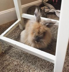 Sometimes when I get really sleepy I get inside the safe zone of moms sewing stool.  #rabbit #rabbits #rabbitsofig #rescue #rabbitstagram #bunny #bunnies #bunnylove #bunniesworldwide #bunniesofinstagram #animal #animallovers #adoptdontshop #catsofinstagram #furbaby #lapin #lionhead #conejo #cagefree #coniglio #krolik #kanin #kaninchen #vegan #veganlife #vegansofig #crueltyfree #animalwelfare #sunday by thehouserabbits