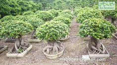 $100 Ficus Ginseng Bonsai, Garden Sculpture, Outdoor Decor, Plants, Plant, Planets