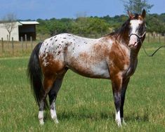 If I could choose what to call this horse, I would call it the Rusty Appaloosa. It looks rusty, doesn't it? Horses And Dogs, Wild Horses, Animals And Pets, Farm Animals, All The Pretty Horses, Beautiful Horses, Animals Beautiful, Majestic Animals, Spotted Horse Breed
