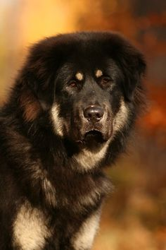 Tibetan Mastiff from the painted bench Tumblr