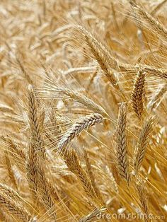 Fields Of Gold, Crop Photo, New Year Images, Wheat Fields, Christmas Illustration, Indian Summer, Illustrations And Posters, Mandala Design, Deities