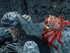 Sally Lightfoot crab riding on the back of an iguana in the Galapagos / Nat Geo / Nancy Leigh