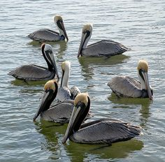 Pelicans, Port Fourchon, Louisiana. Photo by my dad.