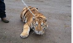Thousands of lions, tigers, cheetahs and other big cats are suffering in backyards and cruel roadside zoos. Sign the petition to stop the cruelty. Post Animal, Stop Animal Cruelty, Majestic Animals, Roadside Attractions, Cheetahs, Puppy Mills, Animal Rights, Big Cats, Cute Animals