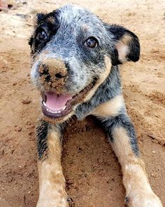Australian Cattle Dogs (@australiancattlemoments) on Instagram: blue_heeler_brasil