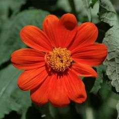 """Poppy """"Danish Flag"""", Papaver somniferum  Seeds #200 Seeds  Mexican Sunflower, Torch"""" Tithonia rotundifolia  _50 Seeds  #Annual  #ht.  40 to 60 inches    #  full sunlight # Easy #colorful"""