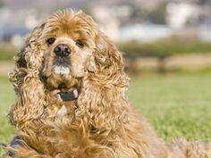 TOP-10 legagresszívabb kutyafajták  Amerikai cocker spániel