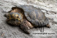 snapping turtle back - Google Search