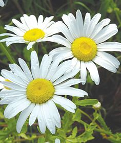Shasta Daisy, Snow Lady  Perennial, Zone 5-9  Long blooming Spring through late Summer