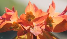 Euphorbia griffithii Fireglow close-up and backlit. Zone 3.