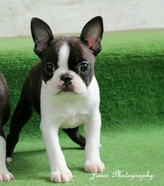 Stunning Boston Terrier puppy