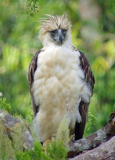 Philippine Eagle, nr Mount Kitanglad, Mindanao by Terathopius, via Flickr