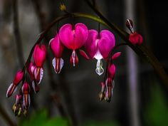 Free Image on Pixabay - Herzerlstrauch, Bleeding Heart Free Pictures, Free Images, Bleeding Heart Flower, Tattoo Inspiration, Finding Yourself, Relationship, Flowers, Plants, Messages