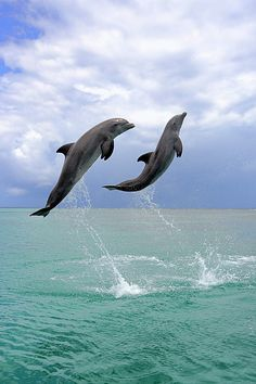 """""""Bottlenose Dolphins"""" ♥ beautiful & intelligent creatures prevalent in FL {my hometown}! I have actually *kissed* a dolphin {about} 11 years ago @ Discovery Cove & he fainted! ;-)"""