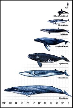 Whale Size Comparison Chart by Dixie Allan