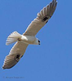 Australian Black-shouldered Kite (Elanus axillaris) Black-shouldered kite in flight.