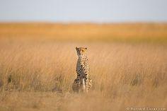 A cheetah in Liuwa Plain National Park.
