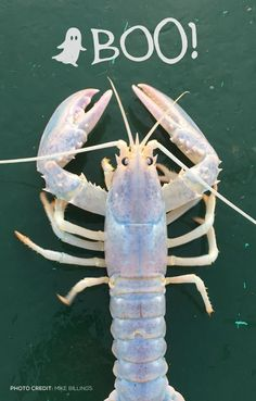 """Happy Halloween from this rare """"clear"""" lobster caught by Maine Lobsterman  Mike Billings. 4432d4ff2033"""