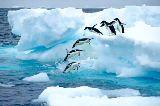 Adelie-Pinguin, Tauchen, Antarktis-Halbinsel, Antarktisch von All Canada Photos (F1 Online)