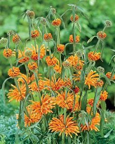 New for 2012!  Majestic plant from South Africa produces vibrant orange tubular flowers in whorls along tall stems  Easy to grow, likes plenty of water in the garden  Can be grown in a container as well  Flowers are very attractive to HUMMINGBIRDS.