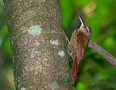 Arapaçu-rajado (Xiphorhynchus fuscus)