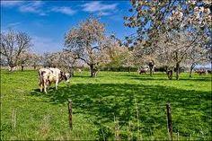 Kersenboomgaard met koeien Southern Comfort, Places, Animals, Lugares, Animaux, Animal, Animales, Animais
