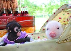 Pig and monkey best friends? I think so! Beautiful Creatures, Animals Beautiful, Baby Animals, Cute Animals, Teacup Pigs, Mermaid Pictures, Mini Pigs, Baby Pigs, Little Pigs