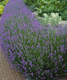 Loving this Munstead Lavender - Set of Three on #zulily! #zulilyfinds
