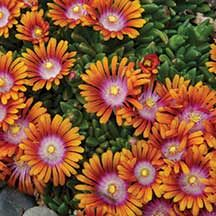 Fire Spinner Ice Plant - A low growing, drought tolerant perennial with unusual tri-color flowers. The long blooming flowers have orange to apricot tips with hot pink surrounding a white eye. Plant it as a groundcover or in rock gardens. Beautiful Flowers, Perennial Plants, Ground Cover Plants, Plants, Ice Plant, Succulents, Perennials, Ornamental Grasses, Sedum