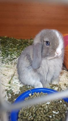 cute gray bunny rabbit with gray blue eyes Lop Bunnies, Cute Baby Bunnies, Cute Babies, Dwarf Bunnies, Cute Little Animals, Cute Funny Animals, Fluffy Animals, Animals And Pets, Bunny Cages