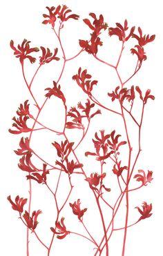 Kangaroo Paw fine art print giclee print by MeanderWares on Etsy
